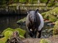 Tapir-9121